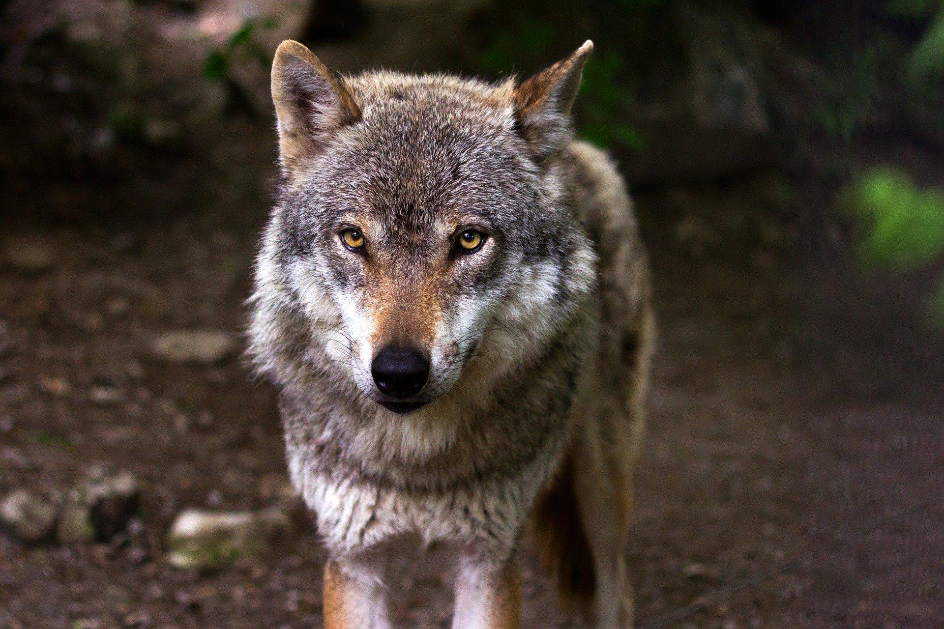 Présence de loups